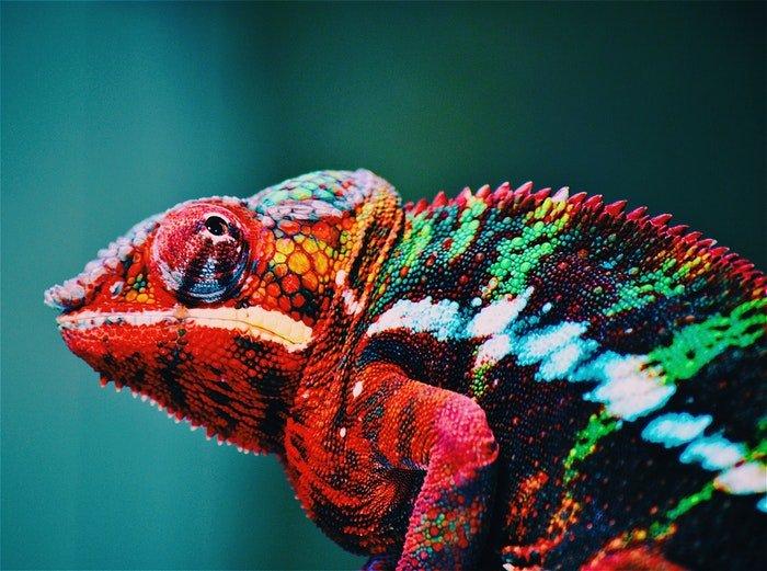 彩色变色龙的特写照片