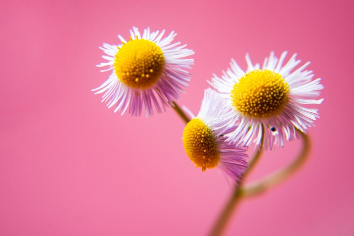 White and yellow flowers in front of a pink background