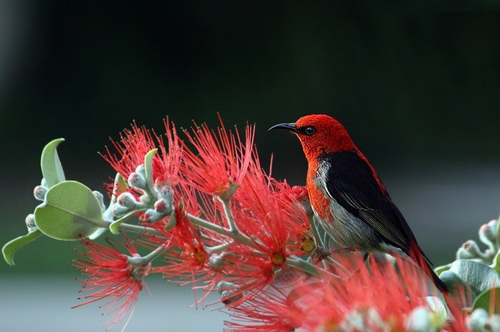 Photo of a red and black bird on a plant with red flowers