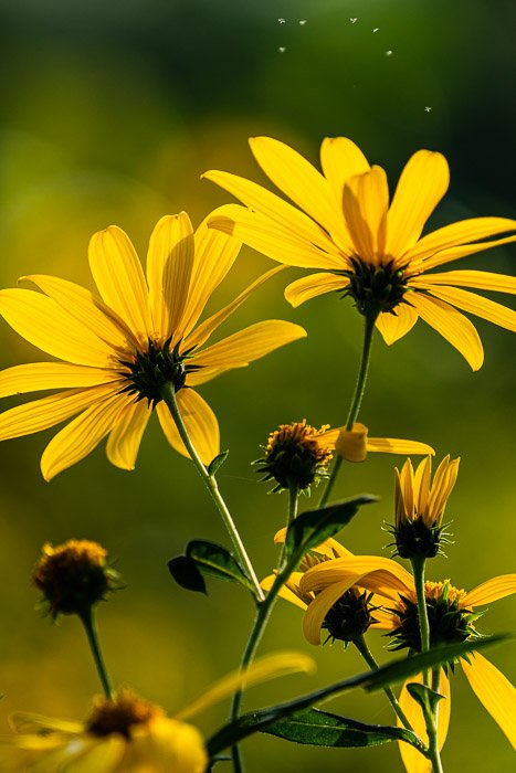 A close up of yellow flowers in a field
