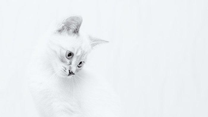A porttrait of a white cat against white background