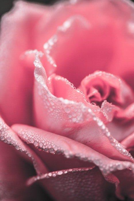 Macro photo of a pink rose