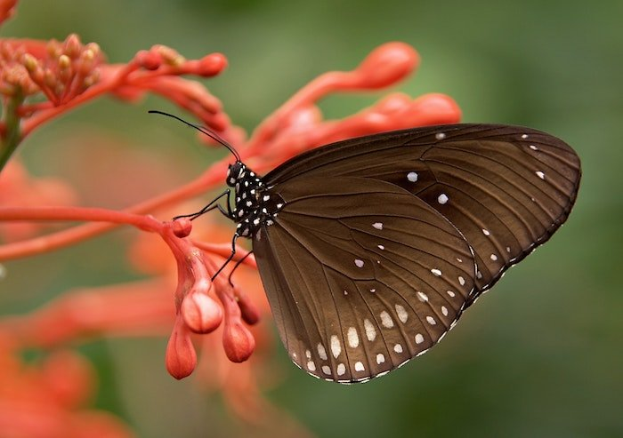 Macro photo of a brown butterfly resting on a flower