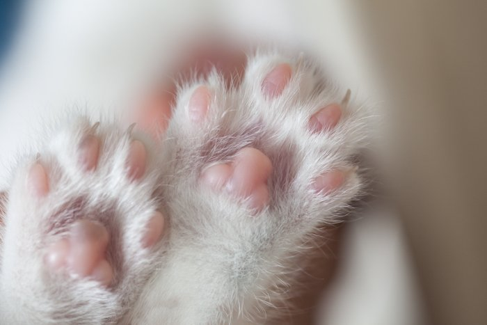 closeup of two white paws of a cat