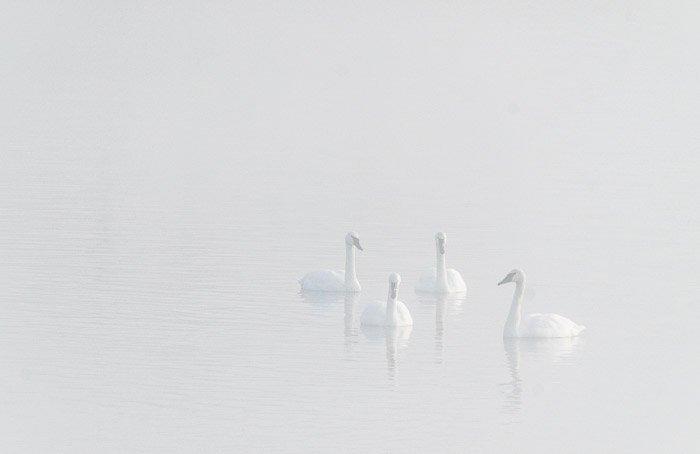 Ephemeral image of swans in a lake