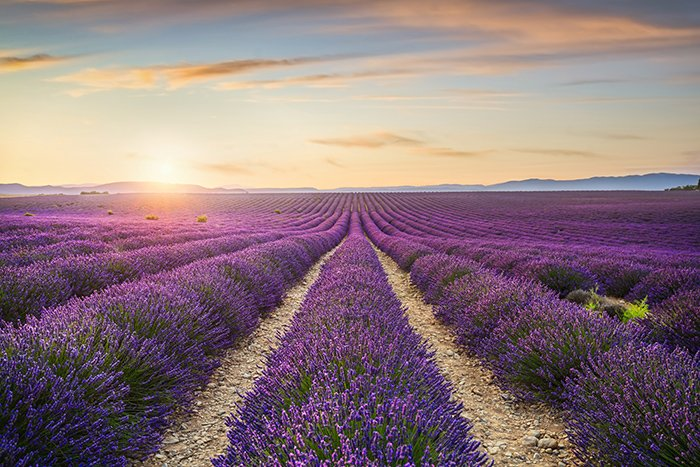 Lavender flowers fields at sunset.