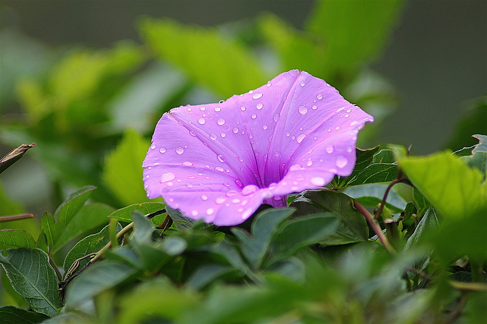 photo of a purple flower with water droplets