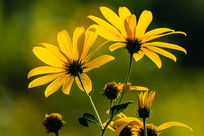 Close-up photo of yellow wildflowers with shallow depth of field