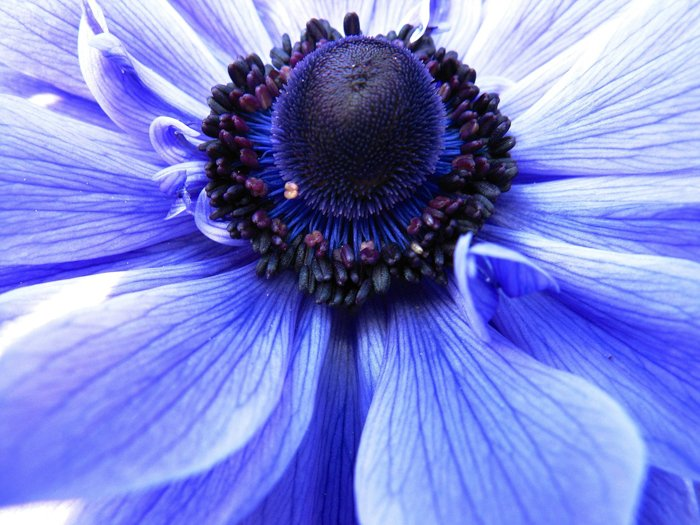 Close up of the centre of a blue flower