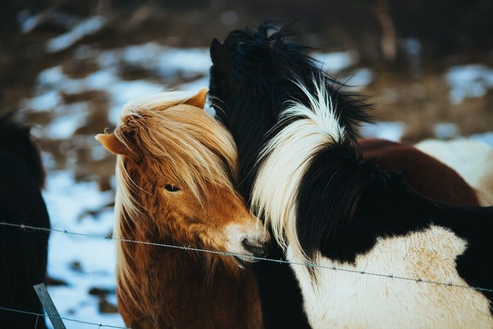 Two furry ponies outdoors