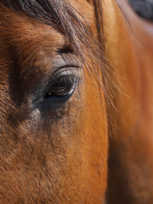 A close up of a brown horses face focused on its eye