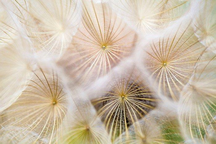 Abstract photo of dandelion seedings