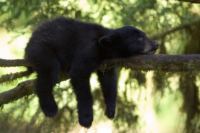 A baby bear lying on a tree branch by wildlife photographer Amy Gulick