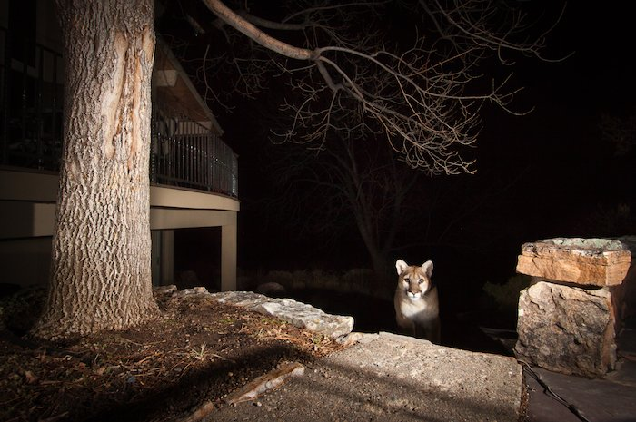 A lynx in an urban setting by wildlife photographer Morgan Heim