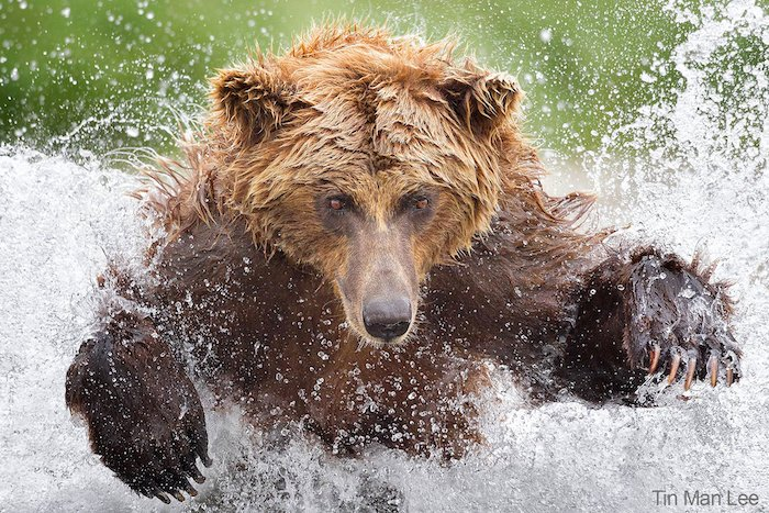 A bear splashing in water by wildlife photographer Tin Man Lee