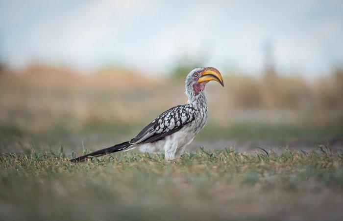 Yellow-billed Hornbill in the Okavango Delta, Botswana.