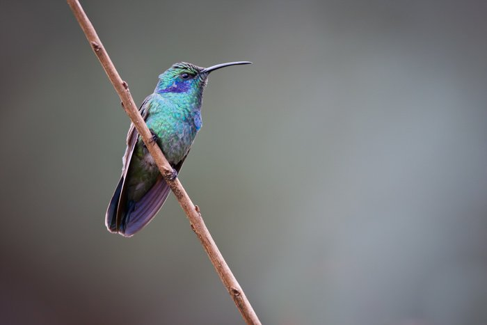 Green Violet-eared Hummingbird on a branch