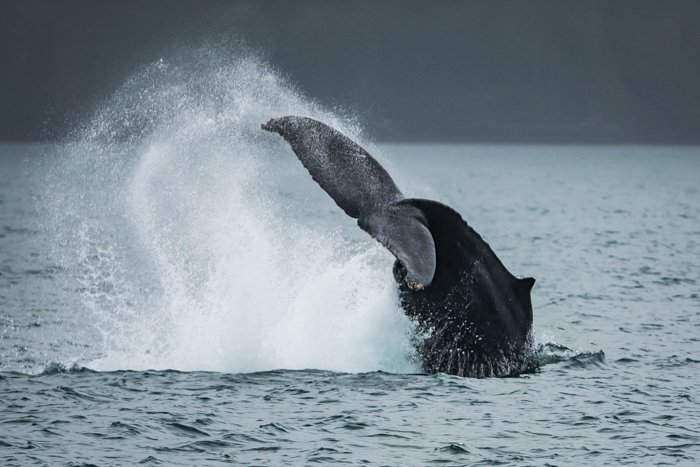 A whales tail splashing above the surface of the water