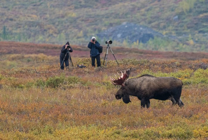 Two men shooting wildlife photography of a bull moose in Denali National Park