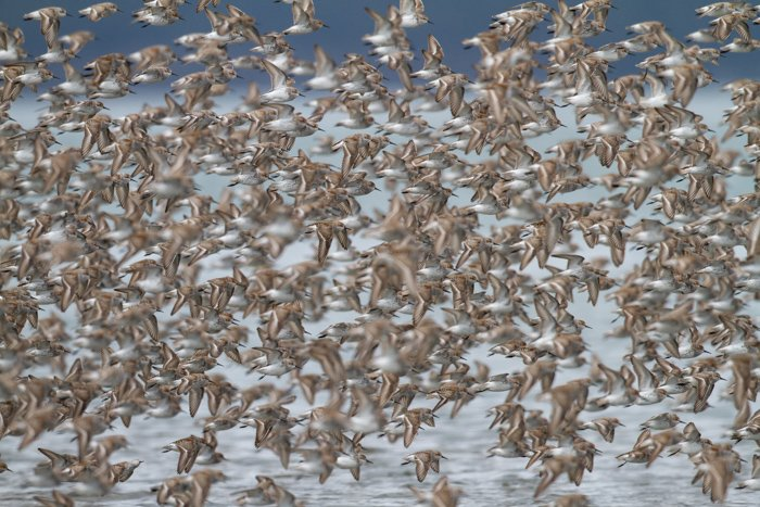 A flock of birds flying over water