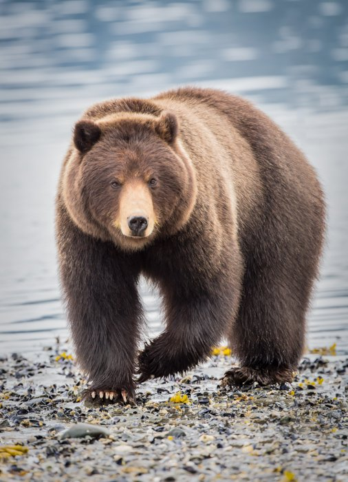 lose up wildlife photography of a brown bear