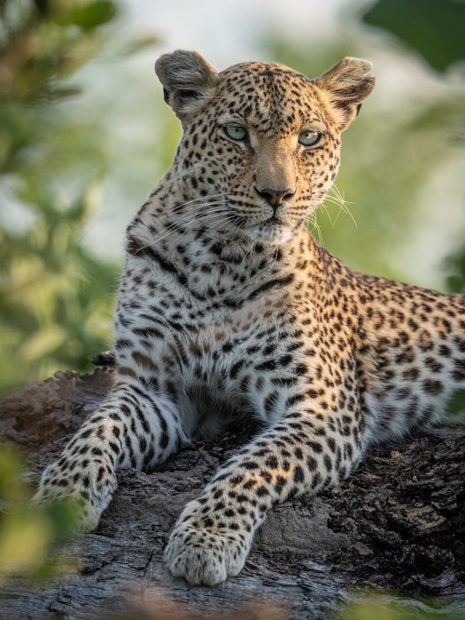 Close up wildlife photography of a leopard resting