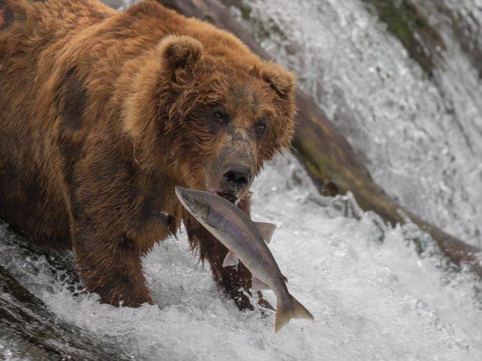 A bear eating a fish at Brooks Falls in Alaska's Katmai National Park