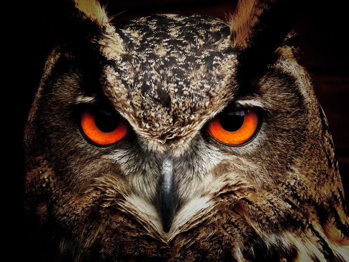 close-up photo of an owl