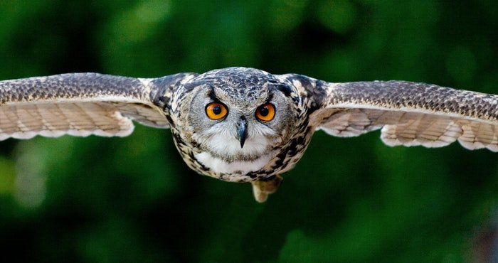 photo of a flying owl