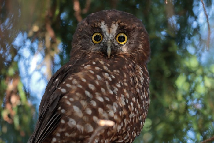 photo of an owl with yellow eyes
