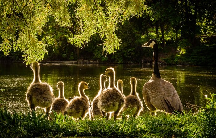 photo of a duck family by a lake