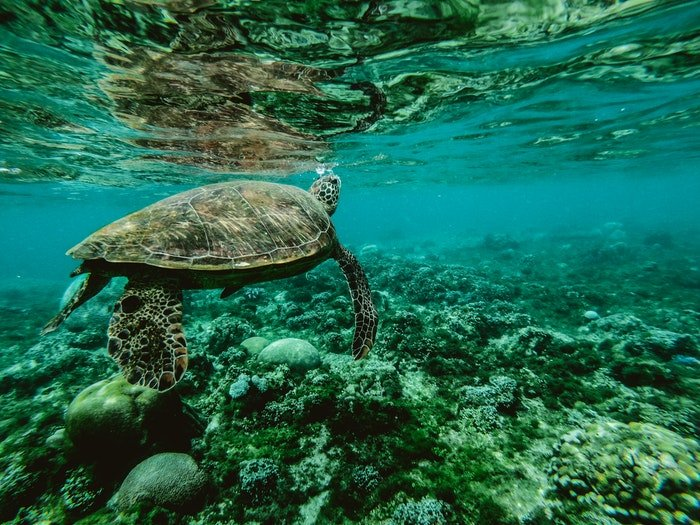 photo of a turtle swimming in the sea