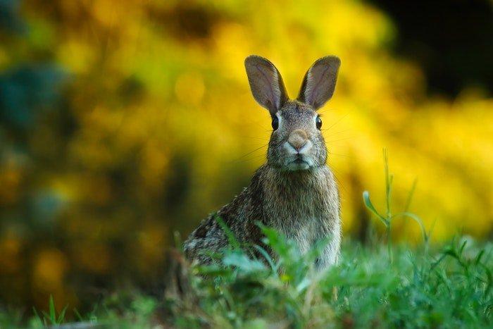 close-up photo of a grey rabbit