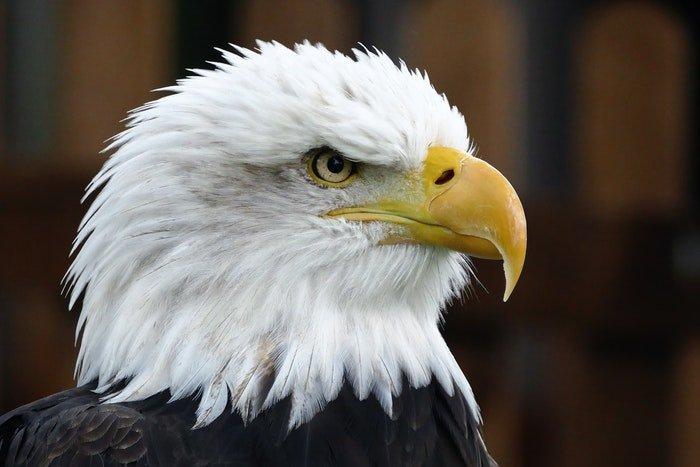 close-up photo of an eagle