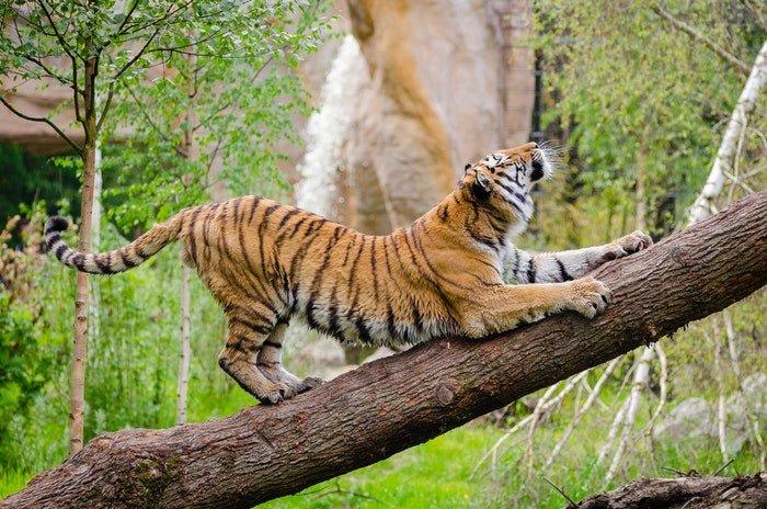 photo of a tiger climbing a tree