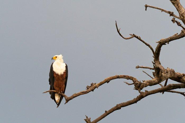 African Fish Eagle in Botswana