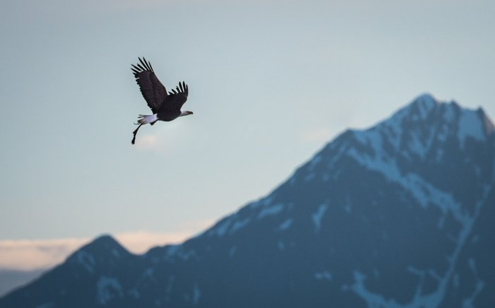 A flying bald eagle
