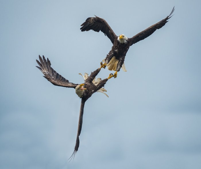Two male eagles fighting