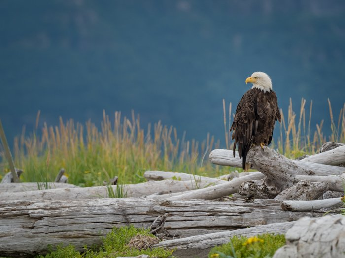 Picture of a eagle on branches