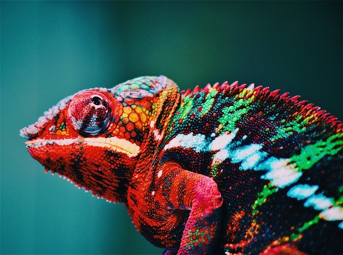 A colorful chameleon
