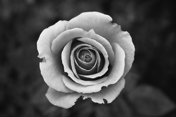Black and white close up image of a rose
