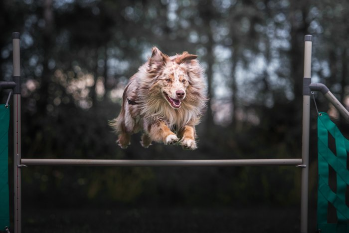a dog jumping over an obstacle