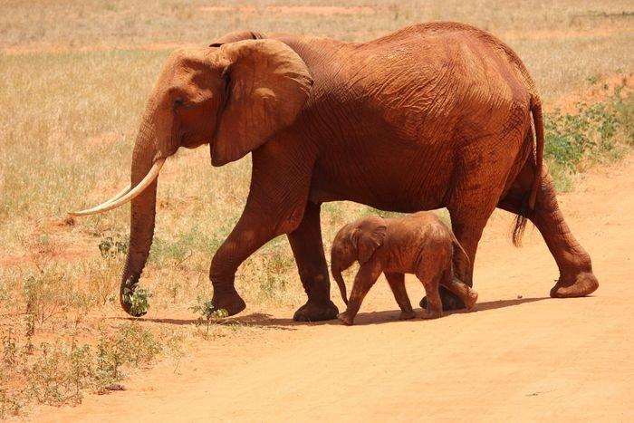 wildlife photo of elephants