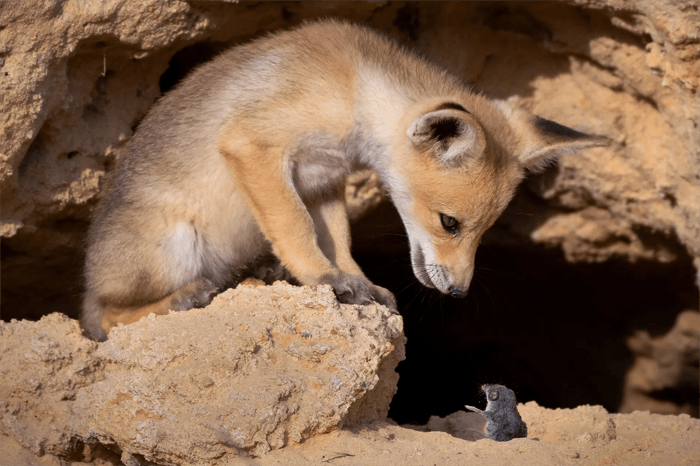 Funny photo of a fox and a mouse from the Comedy Wildlife Photography Awards