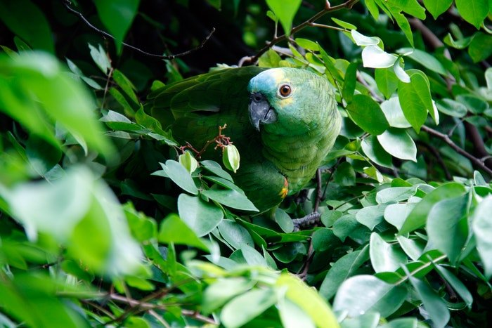 A green parrot camouflaged in leafs