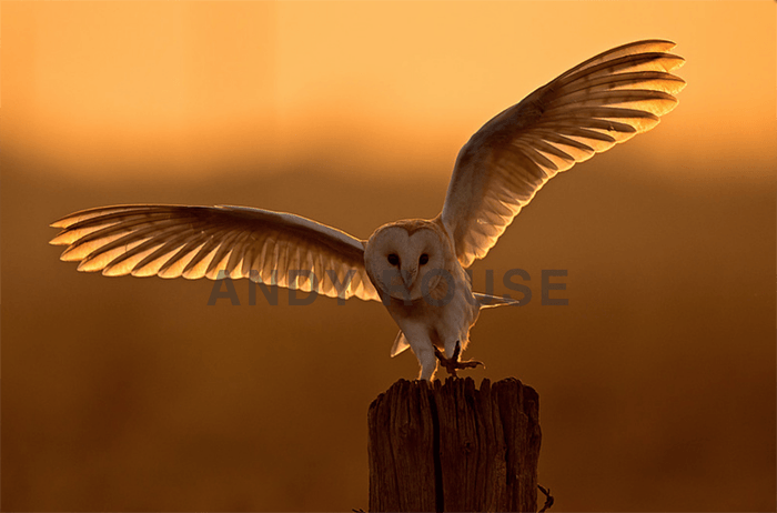Stunning owl photo by Andy Rouse