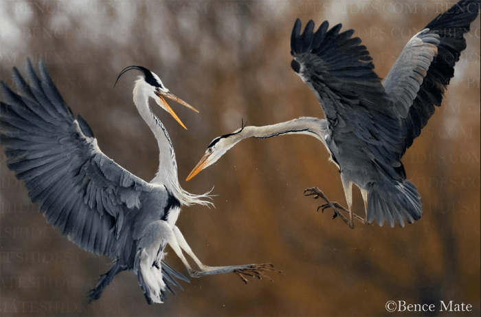 Two herons playing mid flight