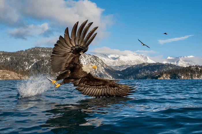 Bald eagle photography by a lake