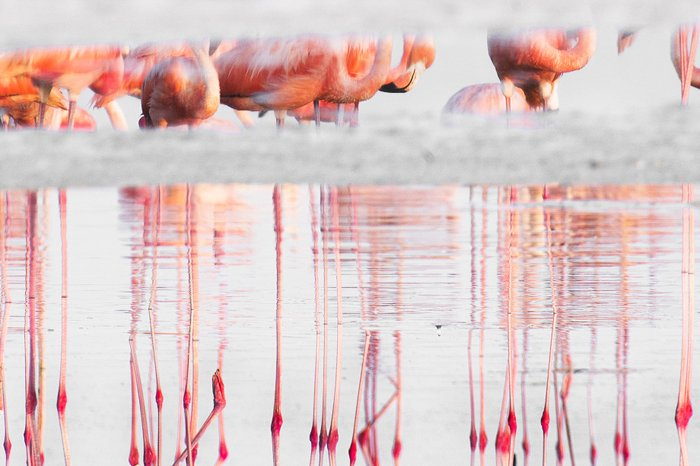 A group of flamingos reflected in a lake