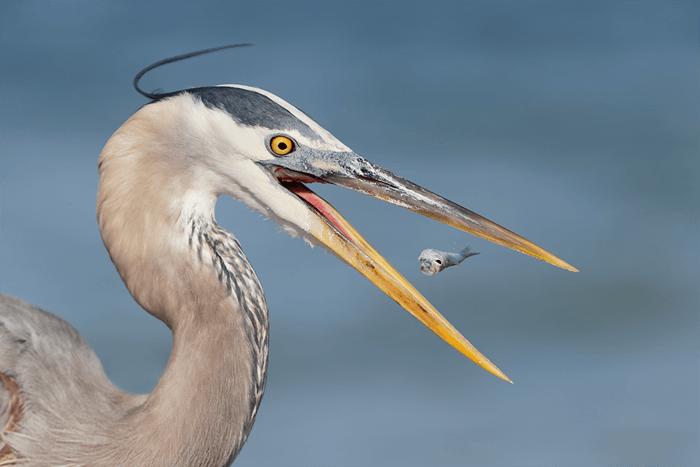 Close up of a heron eating a fish